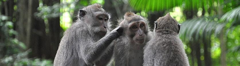 Opice v Ubudu
